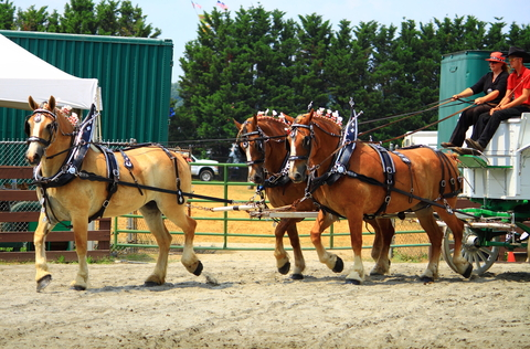 Two men on a cart being pulled by three brown ponies