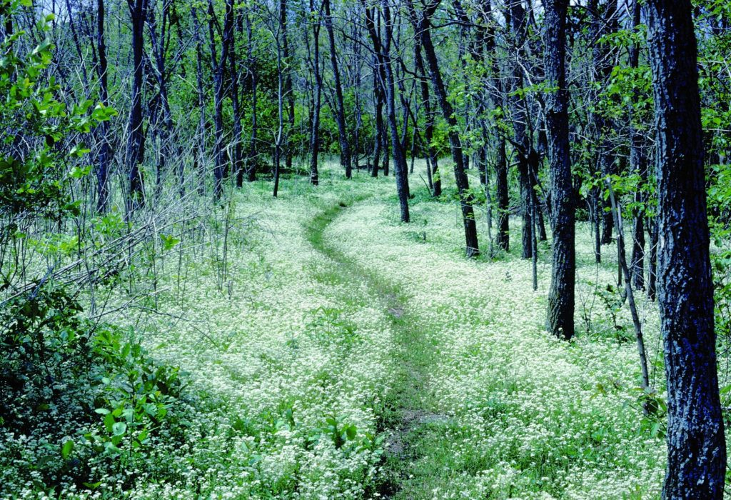 a forest of trees with a well trodden path in the middle of bright green grass